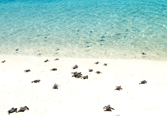 Baby turtle hatchlings, Tobago