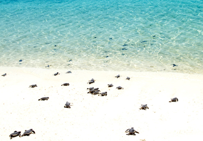 Turtle hatchlings in Tobago