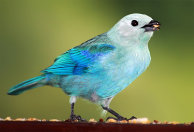 Tobago blue grey tanager bird