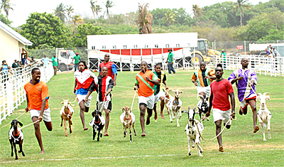 Goat Racing in Tobago