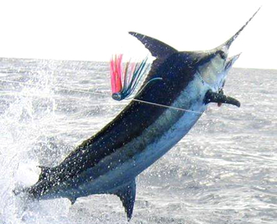 Hardplay fishing catch a Blue Marlin